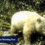 Very rare bear: albino giant panda caught on camera in China - South C...