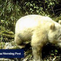 Very rare bear: albino giant panda caught on camera in China - South C...