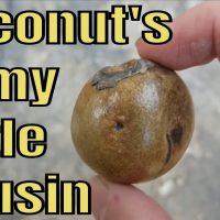 Coyol Palm Review  (Acrocomia aculeata)  - Weird Fruit Explorer Ep. 293